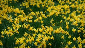 Lots Of Daffodils In Gentle Breeze. Countless yellow daffodils in spring moving in the breeze stock footage