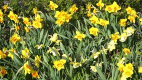 Lots of daffodils. Slight movement from the wind. Beauty and freshness many yellow daffodils. Slight movement from the wind stock video footage