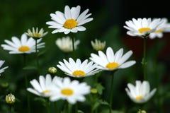 Lots of daisies Royalty Free Stock Photos