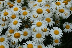 Lots of daisies with beautiful white petals in the meadow royalty free stock photos