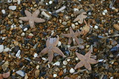 Dead starfish after being stranded after a storm Stock Images
