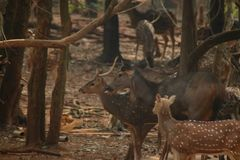 Lots of Deers are standing together stock images