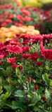 Lots der Chrysantheme Lizenzfreie Stockbilder