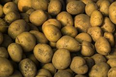Lots of dirty potatoes dug out of the ground. Fresh harvest royalty free stock photo