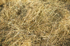 Lots of dry hay, photographed close up Royalty Free Stock Image