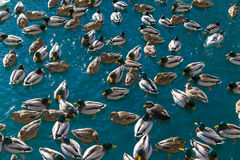 Lots of Ducks in the Water Royalty Free Stock Photo