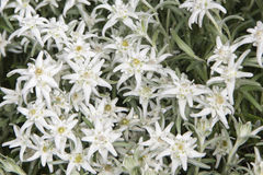 Lots of Edelweiss flowers Stock Images