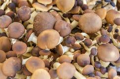 Lots of edible mushrooms Stock Image