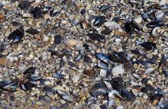 Lots of empty shells on seashore Royalty Free Stock Photography