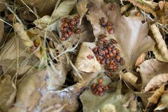 Lots of firebugs Swarming on dried leaves. stock image