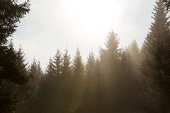 Lots of firs at the sunrise, sunbeams between the forest Royalty Free Stock Images