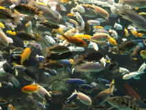 Lots of Fish. A underwater aquarium shot of a selection freshwater fish stock photos