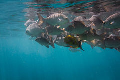 Lots of fish. Lots of grey fish underwater. Indian ocean Royalty Free Stock Image