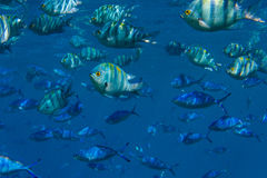 Lots of fish. Underwater. Red sea, Egypt Royalty Free Stock Photography