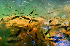 Lots of fishes in clear, transparent water river with ripples of sunlight reflected. Shallow water. Wild nature background. stock photography