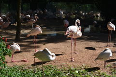 Lots of flamingos. Lots of pink flamingos standing on a park, at Foz Do Iguaz Stock Images