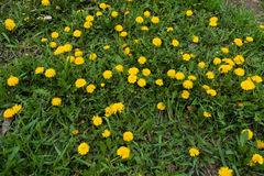 Lots of flowering dandelions in the grass in spring Royalty Free Stock Images