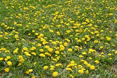 Lots of flowering dandelions Stock Photos