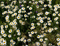 Lots of flowers a camomile Royalty Free Stock Image