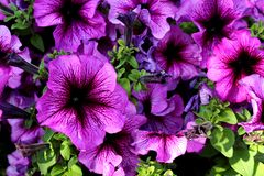 Lots of flowers growing outdoors purple color stock image