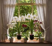 Lots of flowers in old window. Orchids and amaryllis flowers in old window on sunny morning Stock Photo