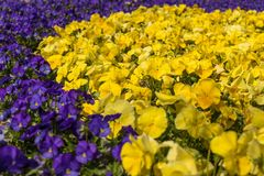 Lots of Flowers pansies bright yellow color and violet color in garden spring Stock Image