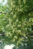 Lots of white flowers of Styphnolobium japonicum. Lots of flowers of Styphnolobium japonicum Stock Images