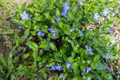Lots of flowers of vinca minor in april Stock Photos