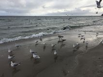 Flying seagulls on the beach in Gdynia. Cloudy day stock photo