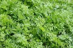 Lots of freshfennel. Lots of fresh green dill Stock Image