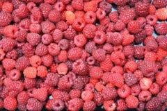 Raspberries. Lots of freshly picked rasperries Stock Image