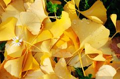 Lots of ginkgo leaves on the ground in autumn Stock Photos