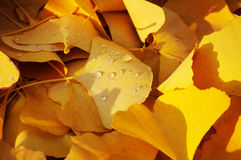 Lots of ginkgo leaves on the ground in autumn Stock Image