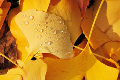 Lots of ginkgo leaves on the ground in autumn Royalty Free Stock Image