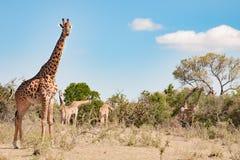 Lots of giraffes in african bush, Tanzania royalty free stock image