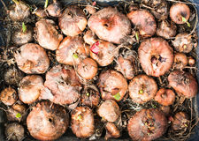 Lots of gladioli bulbs in the tray Royalty Free Stock Images