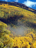 Lots of Gold. Changing Aspens during Autumn in the Colorado Rocky Mountains stock photography