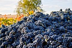 Lots of grapes in the vineyard. Big truck with a lot of grapes from de vineyards and the harvest Royalty Free Stock Images