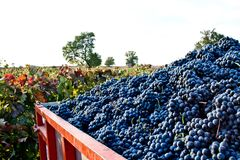 Lots of grapes in the vineyard. Big truck with a lot of grapes from de vineyards and the harvest Royalty Free Stock Photos