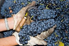 Lots of grapes in the vineyard Royalty Free Stock Images