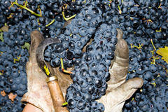 Lots of grapes in the vineyard. Big truck with a lot of grapes from de vineyards and the harvest Royalty Free Stock Photo