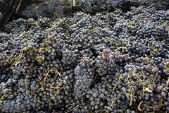 Lots of grapes in the vineyard. Big truck with a lot of grapes from de vineyards and the harvest Royalty Free Stock Image