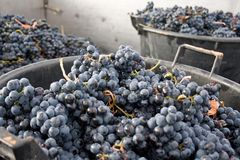 Lots of grapes in the vineyard Royalty Free Stock Photography