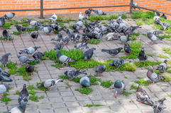 A lots of gray pigeons. Stock Photos