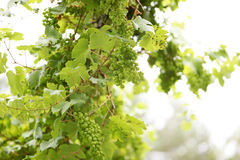 Lots of green grapes on a vine Stock Images