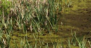 Lots of green typha grasses 4K FS700 Odyssey 7Q. Lots of green typha grasses on a little swamp 4K FS700 Odyssey 7Q stock video