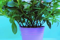 Lots of greenery in a flower pot on a blue background Stock Photography