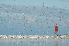 Lots of Gulls. Photograph of a red lighthouse at the entrance to a harbor on the Great Lakes with a large flock of gulls in the sky Royalty Free Stock Images