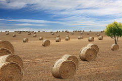 Lots of hay bales Royalty Free Stock Photo