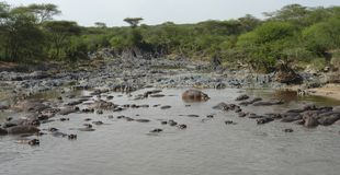 Lots of hippos in a river Stock Images